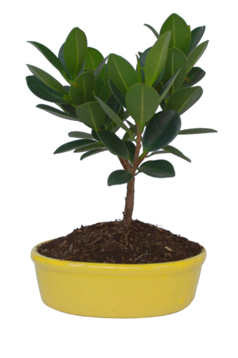 Edi Bonsai Ficus