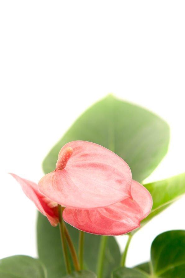 Flor Exterior Anturio 1997