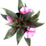 Flor Exterior Besito 2071