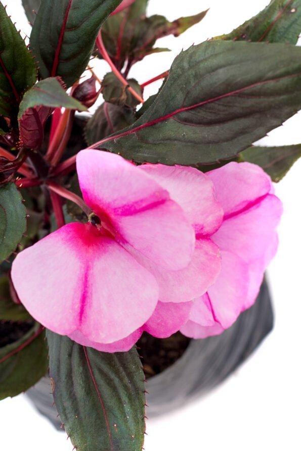 Flor Exterior Besito 2076