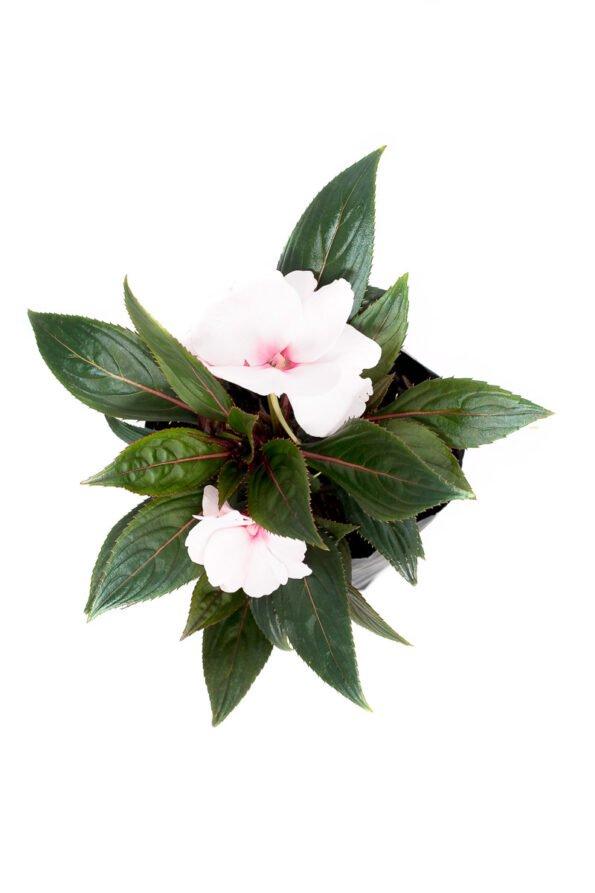 Flor Exterior Besito 2086