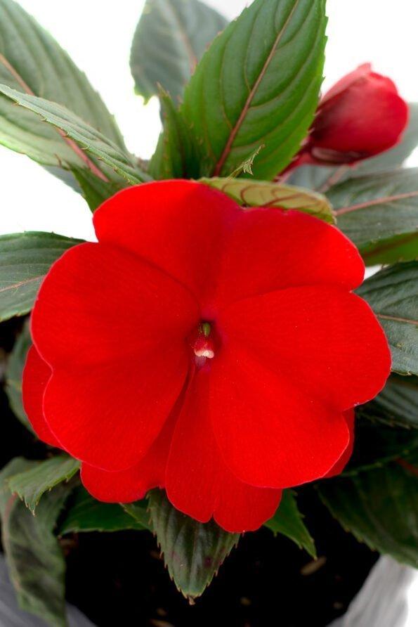 Flor Exterior Besito 2093