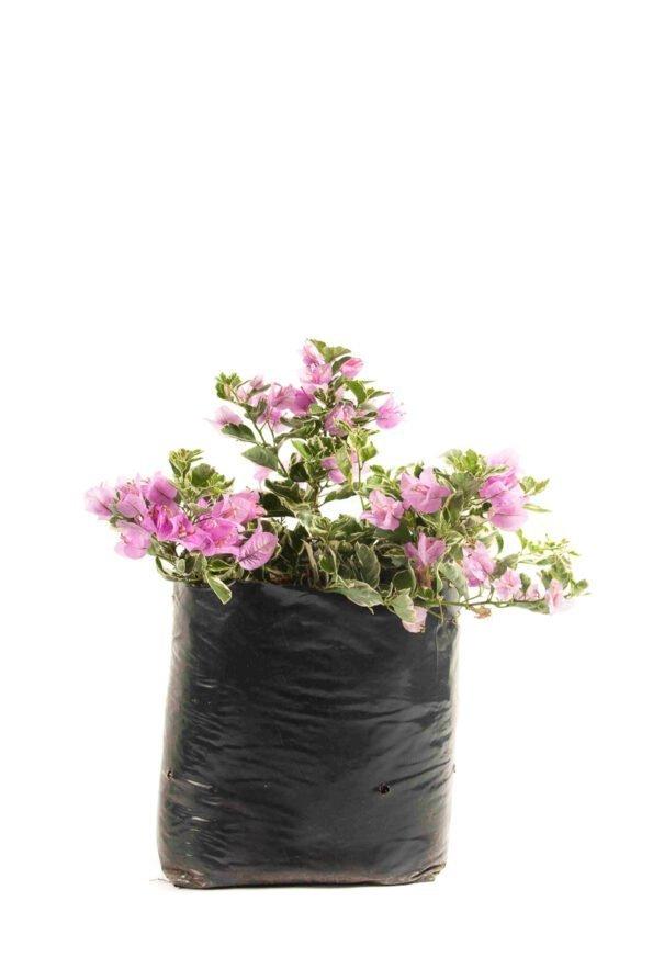 Flor Exterior Curazao 2595