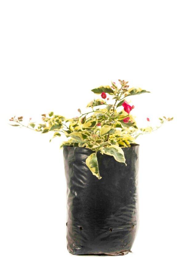 Flor Exterior Curazao 2601