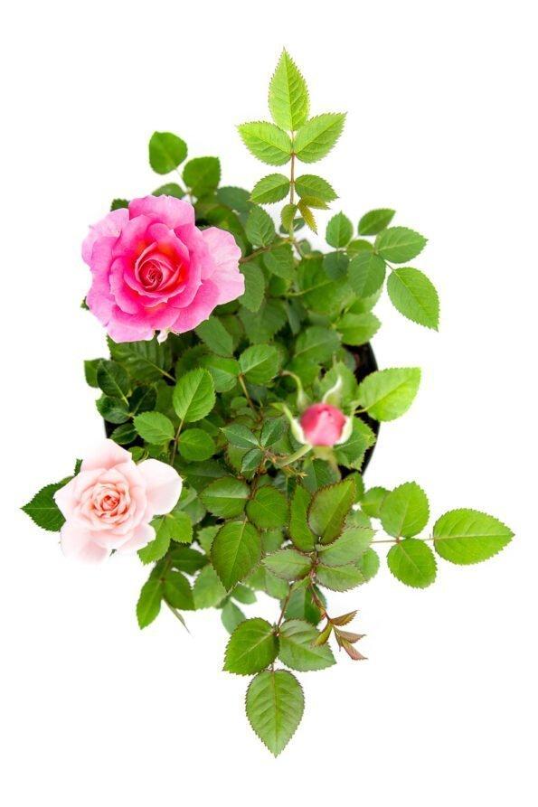Flor Exterior Minirosa 2020