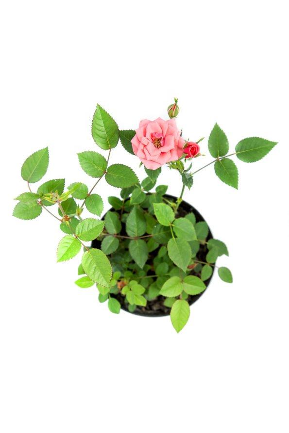 Flor Exterior Minirosa 2026