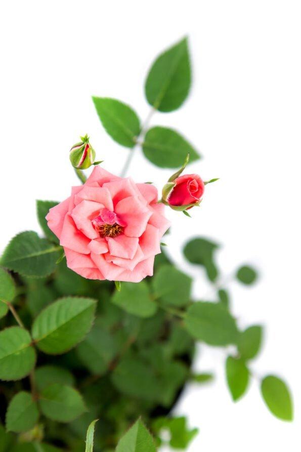 Flor Exterior Minirosa 2027