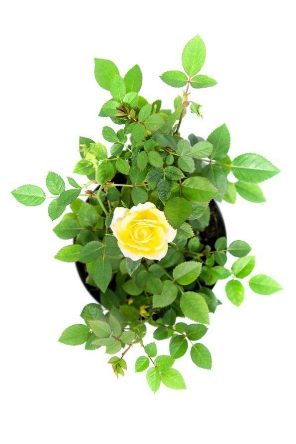 Flor Exterior Minirosa 2033