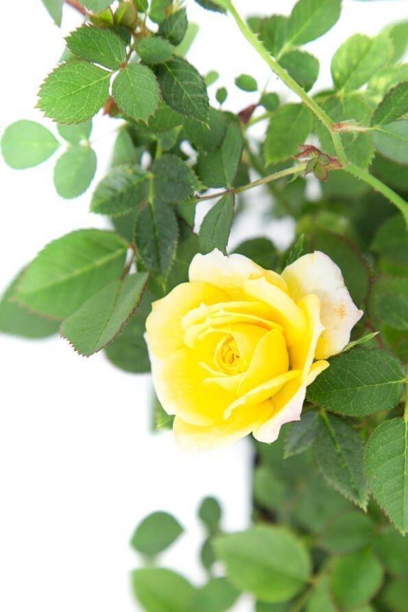 Flor Exterior Minirosa 2034