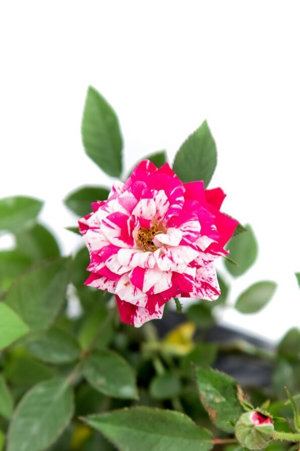 Flor Exterior Minirosa 2037