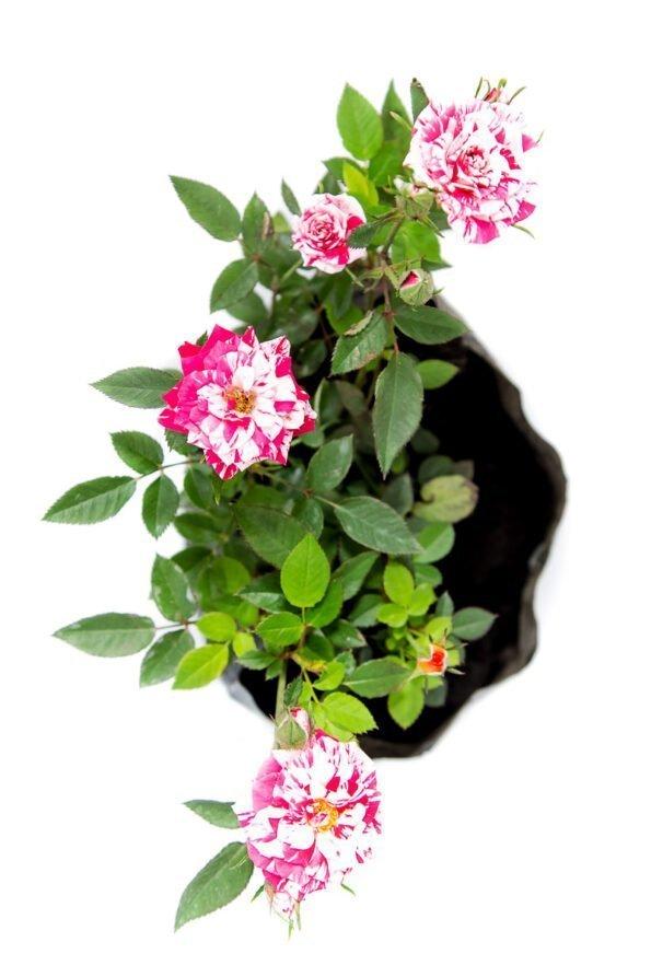 Flor Exterior Minirosa 2038