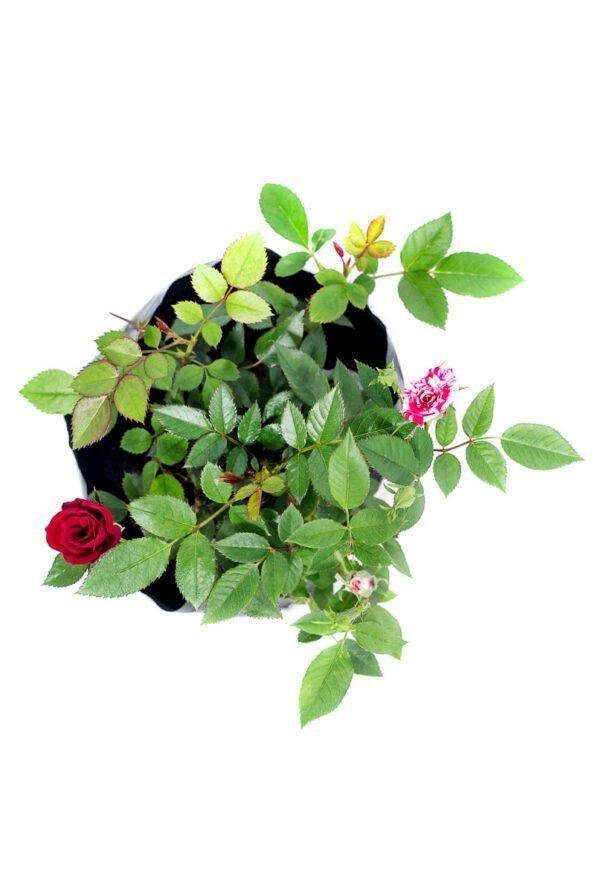 Flor Exterior Minirosa 2044
