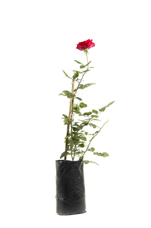 Flor Exterior Rosa 2603