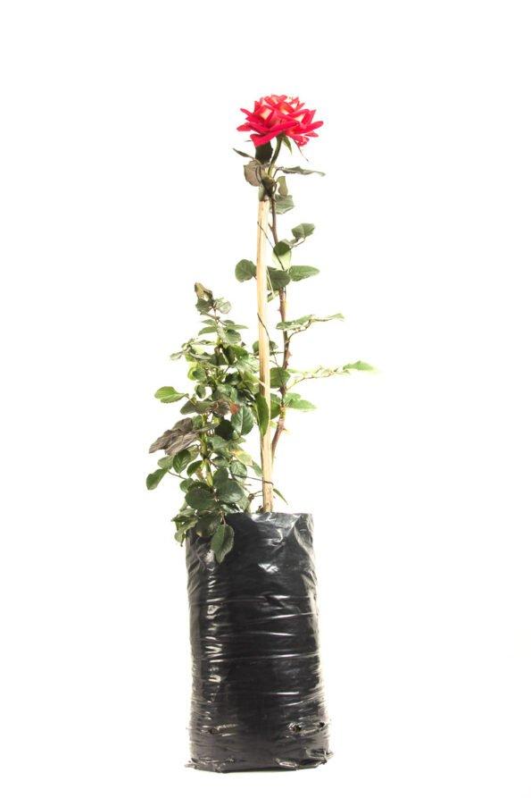 Flor Exterior Rosa 2606