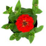 Flor Exterior Zinia 2120