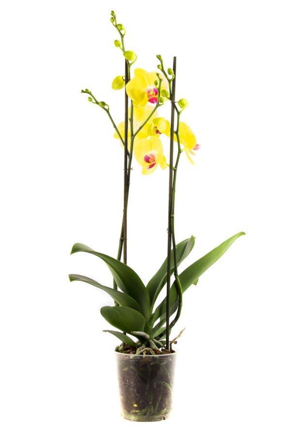 Flor Maceto 2525